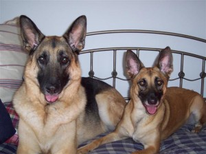 Big Brave German Shepherd (left) and the Gator Girl (right)